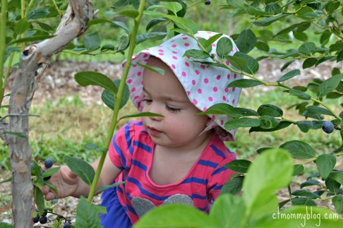 Toddler Blueberry Picking