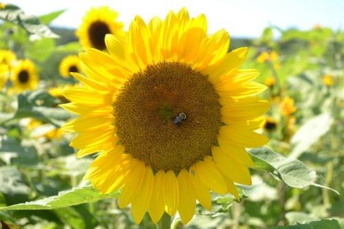 Lyman Orchards Sunflower Maze
