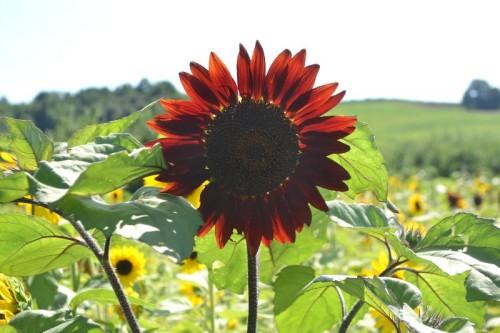 Sunflower Maze Lyman Orchards