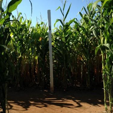 Lyman Orchards Corn Maze (29)