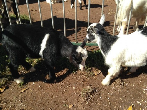 Baby Goats at Cheshire Hollow Farm