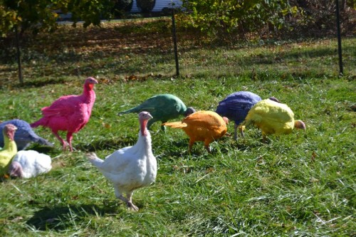 Colored Turkeys in CT