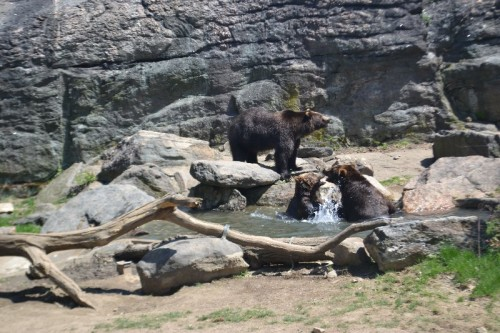 Brown Bears Bronx Zoo