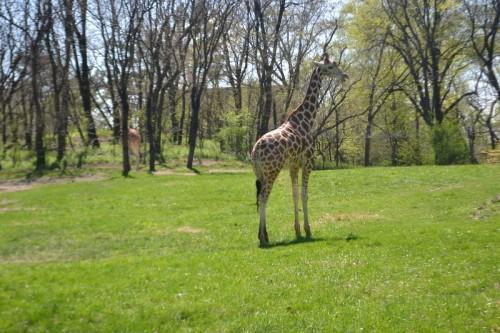 Giraffes Bronx Zoo