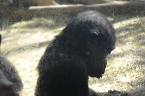 Gorillas Bronx Zoo