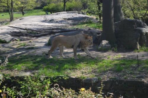 Lions Bronx Zoo