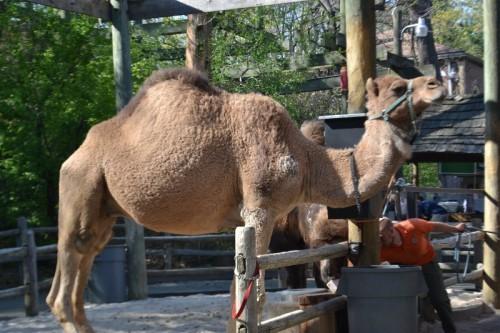 Bronx Zoo Camel Rides
