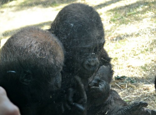Baby Gorillas Bronx Zoo