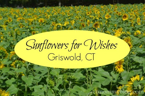 Buttonwood Farm Sunflowers for Wishes