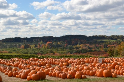 Pumpkin Picking Fairfield County