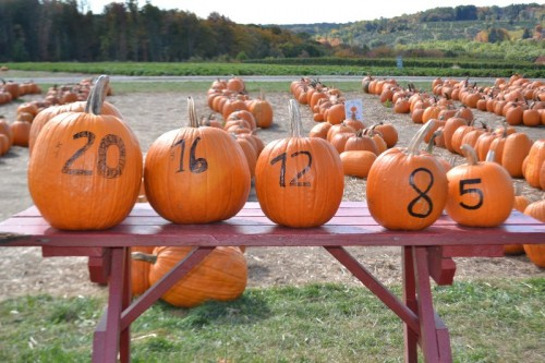 Pumpkin Picking CT