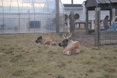 Live Reindeer Dzen Farm CT