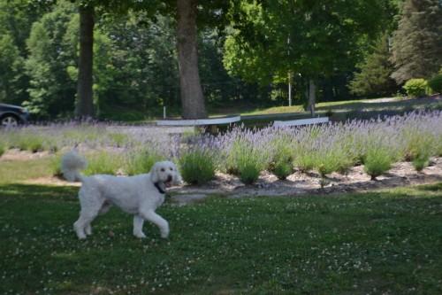 Lavender Pond Farm Killingworth CT
